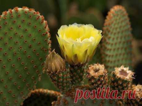 Болезни кактусов Грибковые заболевания наиболее распространены при неправильном уходе. Самое любимое время их возникновения — холодное время года при обильном поливе. Лечение подобных...