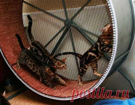 Беговое колесо для кошек своими руками: где купити и как сделать