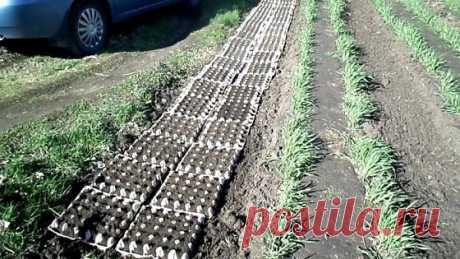Использование яичных лотков в огороде | Роскошная усадьба | Яндекс Дзен