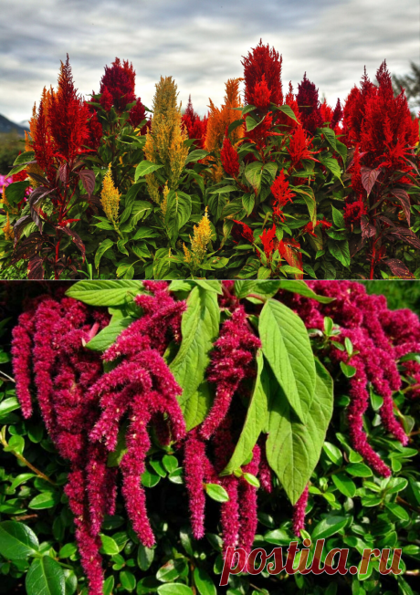 Амарант - кормилец или дьявольское растение? | Вера Бойко | Яндекс Дзен
