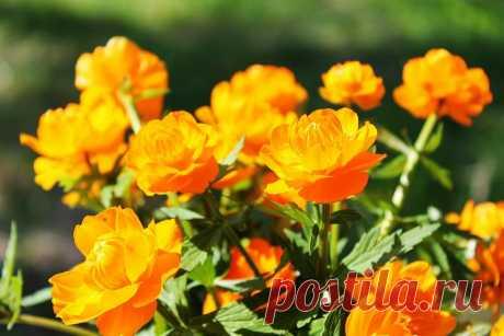 Изящное растение для Вашего цветника   ЗЕЛЕНЫЙ МИР С ЕЛЕНОЙ   Яндекс Дзен