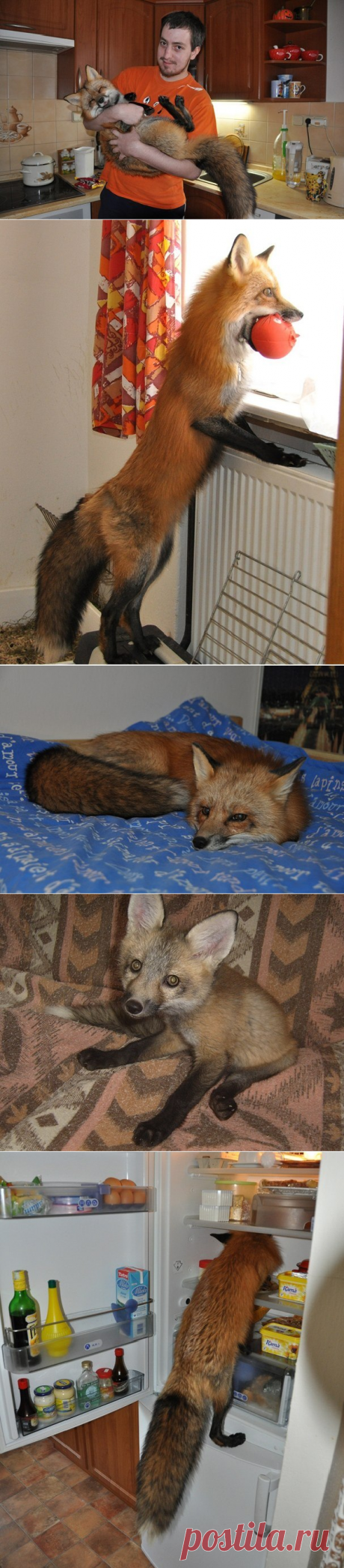 The guy bought a young fox on a fur farm to rescue from death