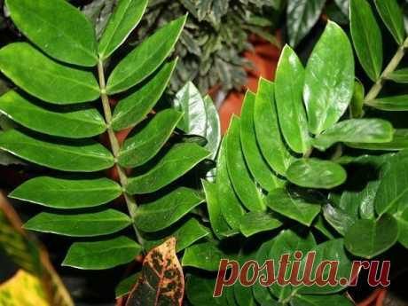 Zamiokulkas - a dollar tree, leaving secrets the Fine, evergreen plant with brilliant, fleshy dark green leaves. At good leaving the plant reaches up to 1 - 1,5 meter in length and already managed to prove as one of the kras …