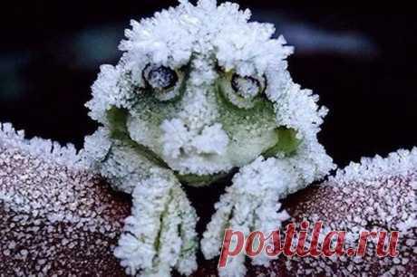 Так выглядит древесная лягушка на Аляске: она замерзает зимой, останавливая сердце, а просыпается весной.