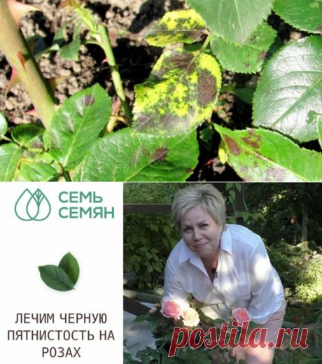 Как лечить розы от черной пятнистости - Яндекс.Видео
