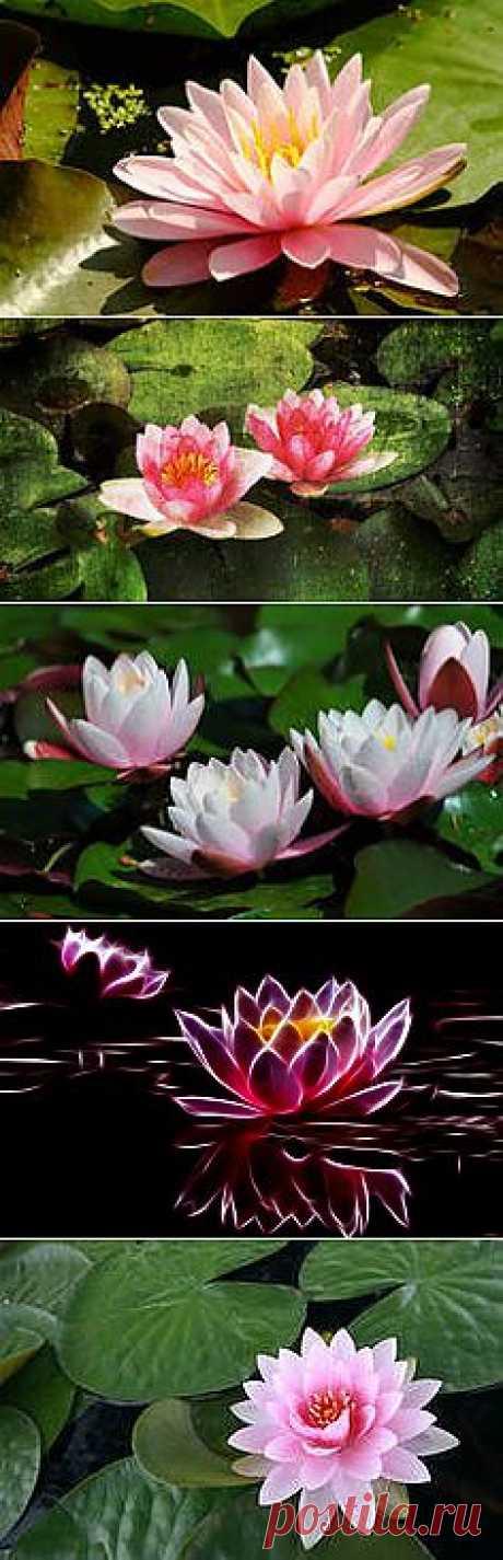 фото цветы водяной лилии: