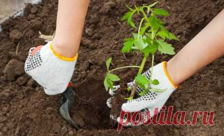 Disembarkation of seedling of tomatoes in soil and the greenhouse | On a bed (Огород.ru)
