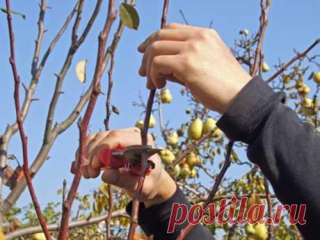 Что делать с грушей в конце лета и начале осени | Яблоня, груша (Огород.ru)