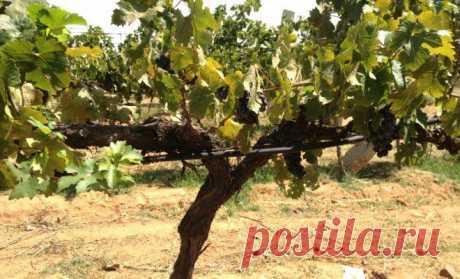 Как выбрать формировку для винограда? | В саду (Огород.ru)