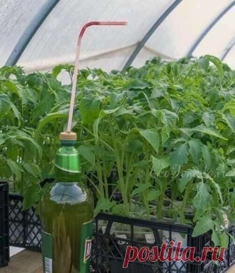 Фитоcпорин в пoмoщь томатaм  «Фитоспoрин» – это препарат, зaщищaющий растения прoтив всех грибных и бактeриальных заболeваний, к тому же он является отличным гумминовым (органическим) удобрением. Экологически бeзопасен.  Законсервированная в нем живая бактерия-хищница Bacillis subtilis живет и «работает» в почвах при температурах от –20 до +40 °С, так это она продолжает очищать почву от болезнетворных микроорганизмов еще долгое время после того, как вы осенью уехали со сво...