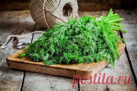 Выращиваем укроп на подоконнике - важные советы | Огород на подоконнике | Яндекс Дзен