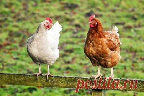 Дачное подворье: 11 фактов, о которых надо знать, прежде чем завести кур Если вы решили завести на даче кур, то у вас наверняка накопилось много вопросов. Как правильно выбрать породу, чем кормить несушек, куда потом сдавать лишние яйца? Но не менее важно узнать кое-что и ...