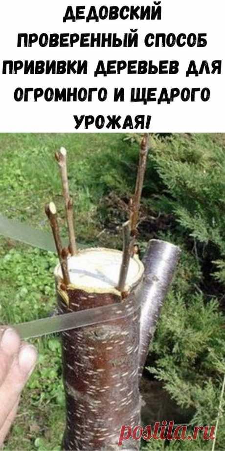 Дедовский проверенный способ прививки деревьев для огромного и щедрого урожая! - Полезные советы красоты