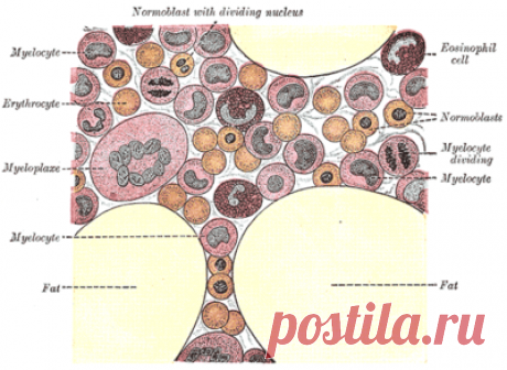 Костный мозг человека — Википедия