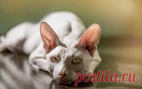 «Пращуры нынешних голых кошек жили еще при ацтеках и именовались мексиканскими бесшерстными. Они имели удлиненный корпус и клиновидную голову с длинными вибриссами и янтарными глазами. Последняя пара канула в небытие в начале прошлого века, не оставив потомства.» — карточка пользователя ev-yarkin в Яндекс.Коллекциях