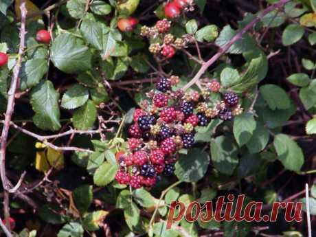 Правила ухода за ежевикой, посадка и размножение ежевики в саду, болезни и зимовка ежевики