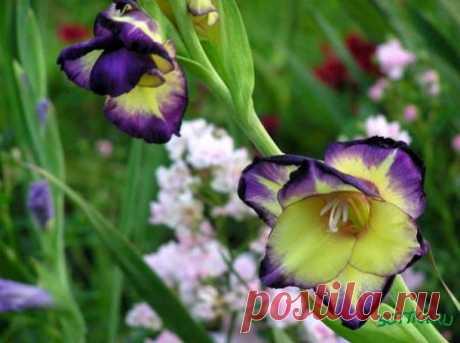 Выращивание гладиолусов | Сад огород