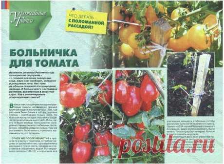 Las plantas el tomate