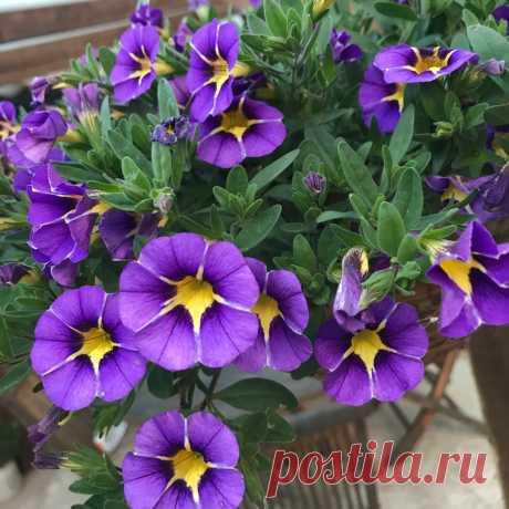 Больше нет желания выращивать Петунию. Нашла 5 видов цветов, которые выглядят ничуть не хуже, но при этом менее прихотливы | Домик окнами в сад | Яндекс Дзен