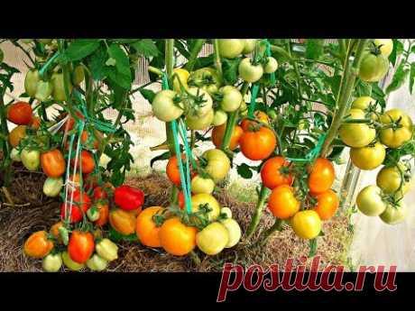 Почему я сажаю помидоры по два корня в одну лунку? Как это влияет на урожай? Уход за помидорами в теплице. Обрезка листьев у помидоров, пасынкование. Моя поч...