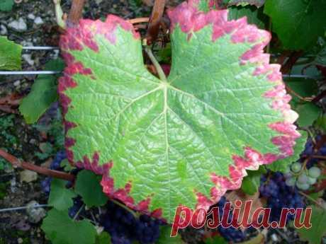 La fertilización de la uva en primavera – las variantes seguras