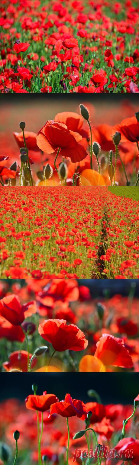 Маки - цветы нежности и любви | В темпі життя
