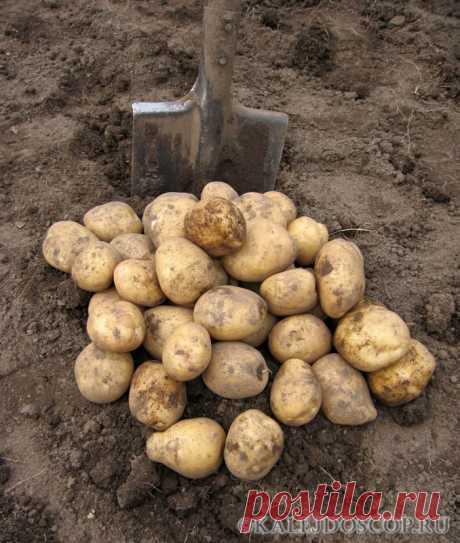 Картофель, как собрать 20 ведер с 10 кустов? | Калейдоскоп