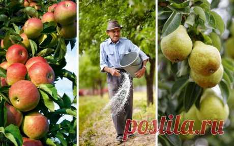 Que sobrealimentar el manzano y la pera en otoño para la mejor invernada y la cosecha abundante \u000d\u000a\u000d\u000a\u000d\u000aLa fertilización otoñal de los manzanos y las peras pasan a la limpieza de la cosecha. Es llamada a compensar el déficit de las sustancias nutritivas en el suelo, también ayudar los árboles preparar por el invierno.\u000d\u000a\u000d\u000aNo el secreto que abundante …