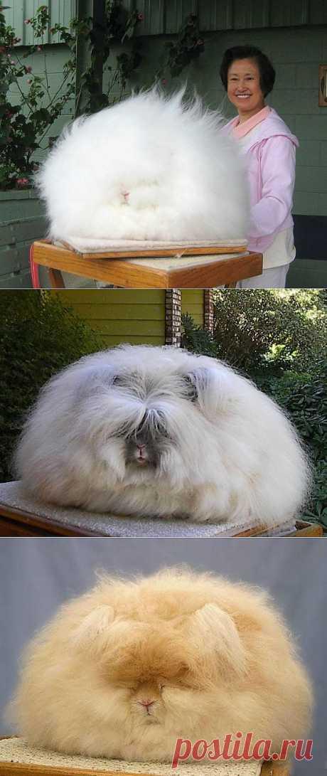Милые ангорские кролики