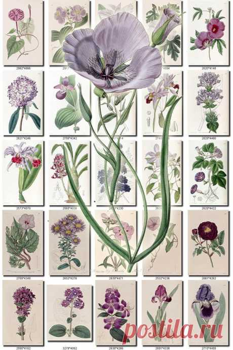 PURPLE-3 FLOWERS Collection of 200 vintage images pictures   Etsy