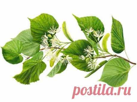 ЛИПА.  Раскидистое, величественное дерево со множеством небольших, необыкновенно ароматных, пушистых цветков.  Широко распространённая в центральной России «местная» липа сердцевидная (мелколистная, Tilia cordata, Tilia parvifolia) с небольшими округло-сердцевидными листочками и пушистыми соцветиями, состоящими из множества цветков. Показать полностью…