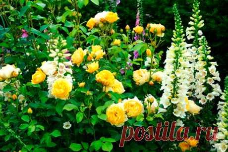 Что посадить рядом с розами Раньше было принято считать, что розы настолько самодостаточны, что не нуждаются в соседях. Но сегодня все большую популярность обретают смешанные