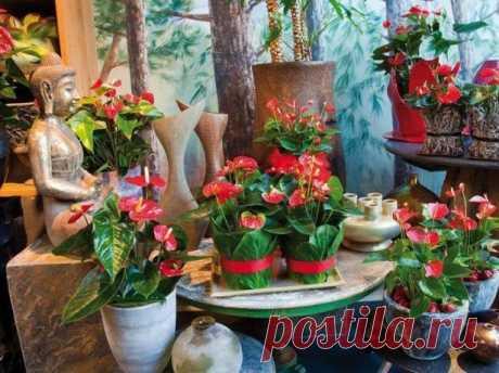 Антуриум: пересадка и уход без забот Экзотичный антуриум, или как его называют «мужское счастье», радует красивой листвой, необычайно яркими цветками с нежными соцветиями, похожими на свечу. Если вам хочется, чтобы растение чувствовало с...