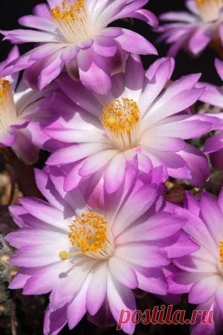 Cactus-Mammilliaria Teresae     Pinterest • Всемирный каталог идей