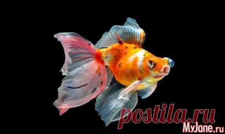 Золотая рыбка - рыбки, аквариумные рыбки, золотые рыбки
