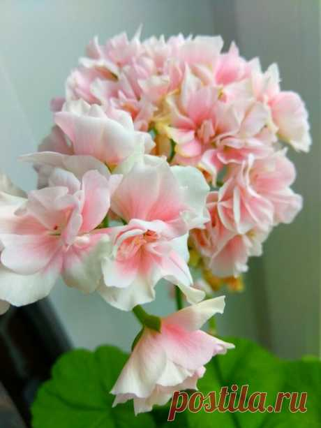 Розовое облако🌸🌸🌸 Герань из семян, летом росла на улице