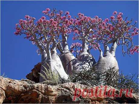 Адениум - роза пустыни