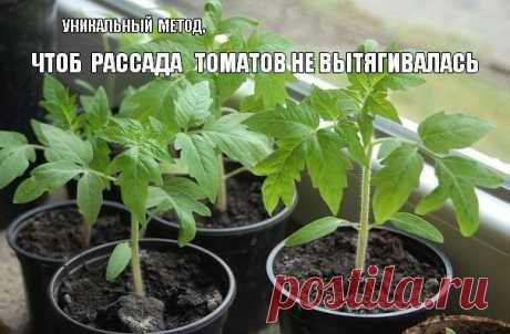 Что делать , чтоб рассада томатов не вытягивалась? Все гениальное - просто! - Экологическое землетворчество | Экологическое землетворчество