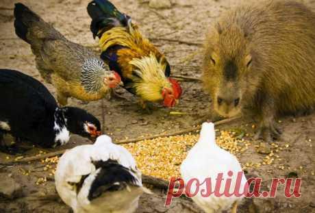 Животное, с которым все хотят дружить Всему миру капибары известны тем, что в их обществе все другие виды чувствуют себя комфортно и непринуждённо.