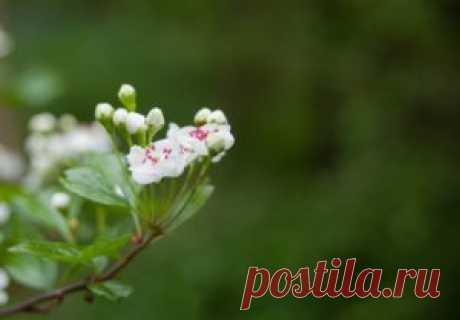 Kwiat głogu koi nerwy, wzmacnia i tonizuje serce - przepisy lecznicze