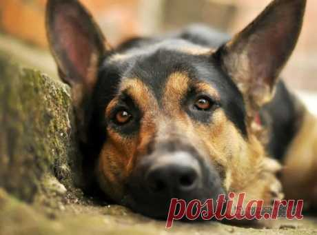 Зимняя депрессия у собак.  У собак, подобные состояния проявляются в ухудшении настроения, повышенной утомляемости, снижением концентрации внимания, потерю интереса к играм, которые его всегда забавляли...
