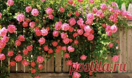 Важный секрет для удивительной красоты цветущих кустов роз ...