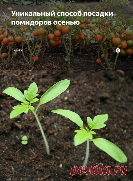 Уникальный способ посадки помидоров осенью | садоёж | Яндекс Дзен