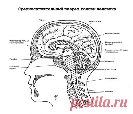 Среднесагиттальный разрез головы человека