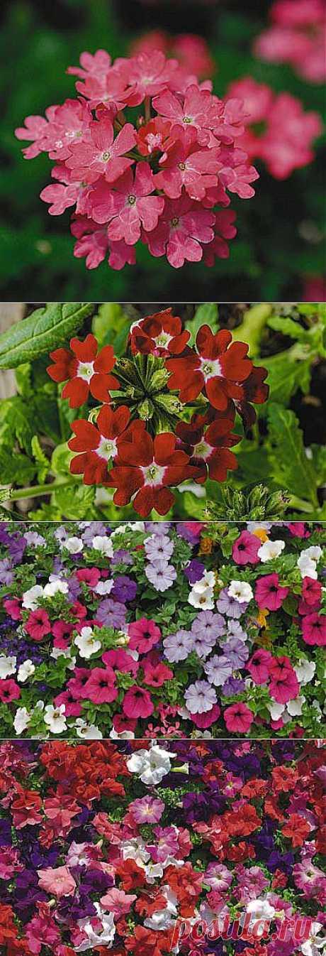 Вербена и петуния-разноцветные красавицы | Самоцветик