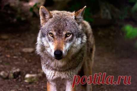 Гость из леса:  матерый волк сидел на прогулочной дорожке и чего-то ждал