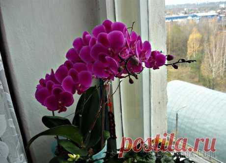 Что делать, если орхидея не цветет? После покупки пышно цветущей орхидеи, хочется видеть ее такой постоянно, потому что красота этого чуда природы завораживает своей нежностью, роскошью и богатством оттенков. Но проходит время, цветы ос...
