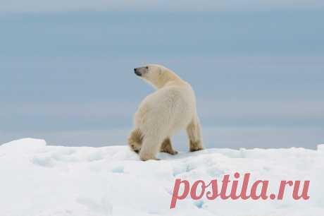«История эта произошла во время экспедиции «Чукотка – остров Врангеля». Остров Врангеля ещё называют роддомом для белых медведей. Именно желание увидеть белых медведей и собрало в экспедицию людей со всего мира – от России до Австралии. Но то, что мы увидели, превзошло все наши ожидания! Да что там говорить о нас... Даже капитан нашего ледокола, которому уже за 70 лет, изумленно сказал, что такого не видел НИКОГДА!» #репортажчитателя
