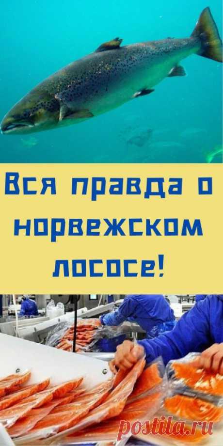 Вся правда о норвежском лососе! - likemi.ru