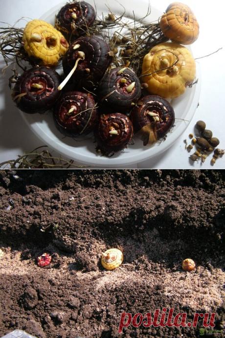 Посадка гладиолусов весной в открытом грунте: несколько важных советов | Огородомания: сад, огород, дача | Яндекс Дзен
